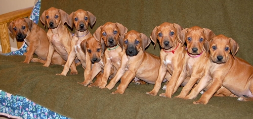 Ridgeback puppies lined up on a futon