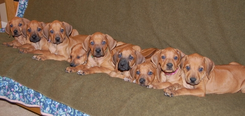 A row of Misty puppies