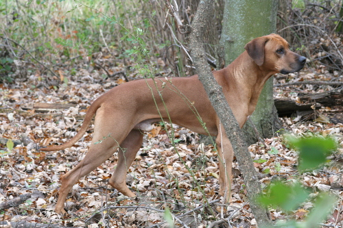 Sire of our last litter of Ridgeback puppies