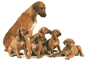 What does a rhodesian ridgeback look like